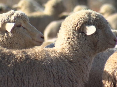 U.S. Sheep Industry Launches Sheep Genetics USA