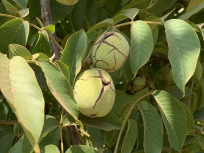 Wolfskill--A New Early Walnut Variety