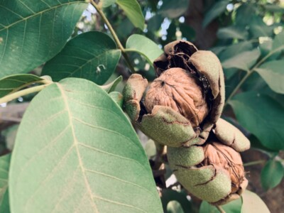 The Value of the California Walnut Commission