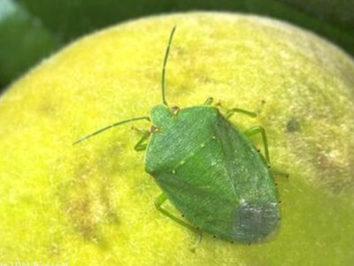 Stinkbugs in Almond Orchards
